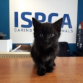 Six week old kitten rescued from a busy road in Athlone