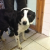 Collie dog abandoned with horrific leg injury