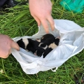 Puppies fly tipped like pieces of trash and left dangling for dead above a river, now in ISPCA care