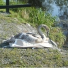 Cygnet Rescued and Returned to the Water