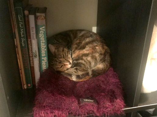 Fig curled up on the bookshelf in her new home